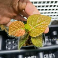Ficus villosa   Rare   (5 leaves, fully rooted)